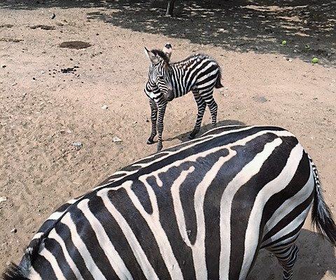 zebras at Sharkarosa