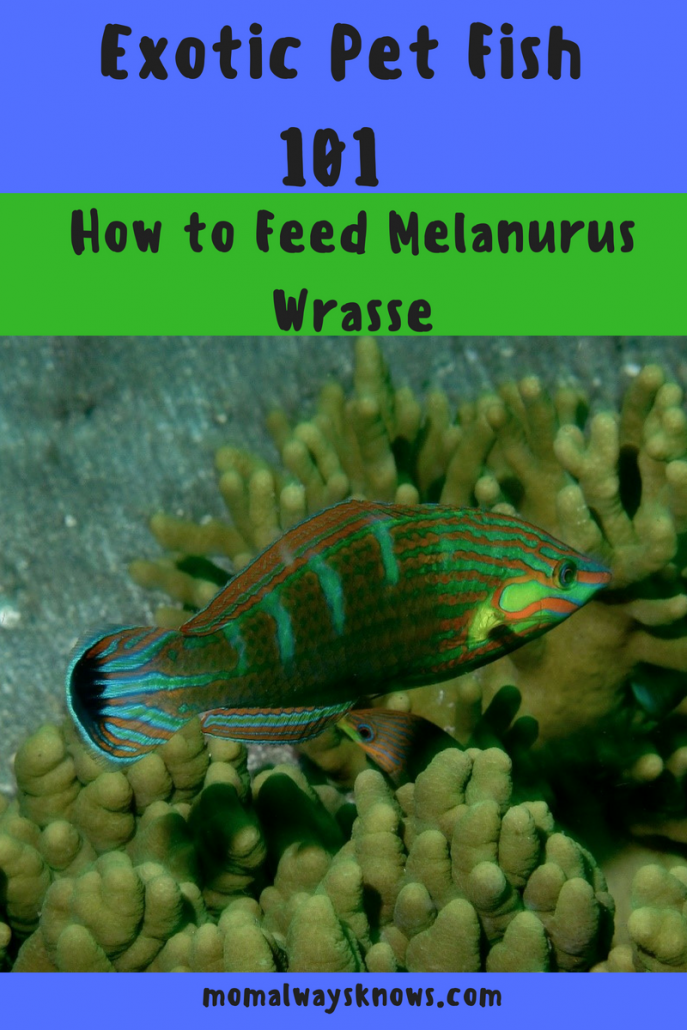 how to feed Melanurus Wrasse