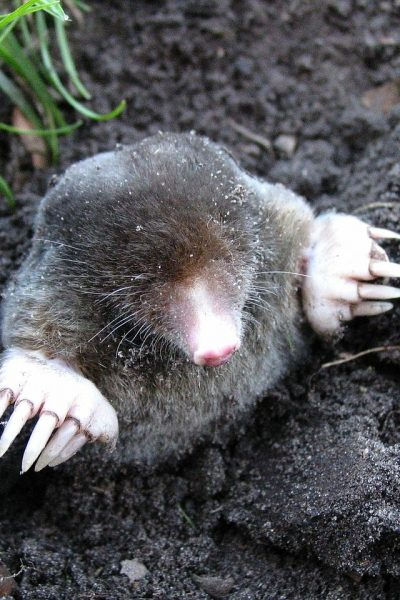 4 Home Remedies to Get Rid of Moles in Your Yard